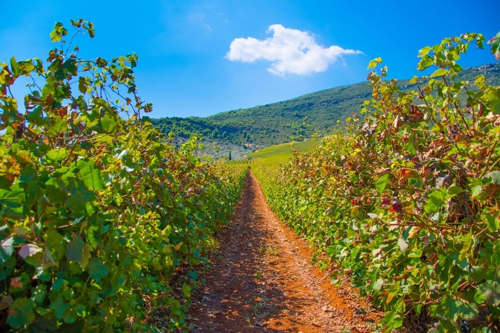 Grape Harvest in Nemea Greece in Autumn