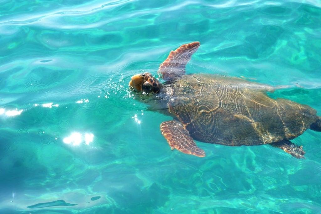 turtles in Zante - snorkeling on the Grek islands